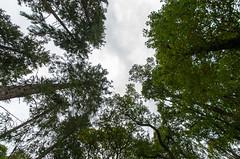 Scottish tree tops (pjparra) Tags: voyage travel autumn trees forest automne scotland wideangle arbres trossachs forêt ecosse queenelizabethforestpark