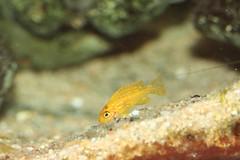 jeune M'bunas (espce non identifi car trop jeune... patience !) (M@rtin.Et@ve) Tags: aquarium poisson mbunas cichlid