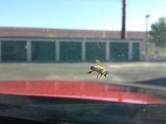 20151031_163504.jpg (stellardot) Tags: macro glass mobile insect phone samsung device bee galaxy windshield s4 sgh m919