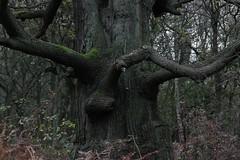 Trees of Sherwood (Andrew 62) Tags: nature oak sherwood