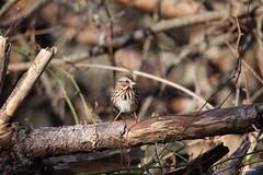 """Song Sparrow"" ""Melospiza melodia"" (jackhawk9) Tags: nature birds canon newjersey wildlife ngc sparrow southjersey songsparrow melospizamelodia backyardbirding jackhawk9"
