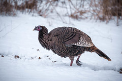 in the wild (jimmy_racoon) Tags: park winter wild snow nature minnesota canon turkey is woods state wildlife mk2 5d ft fading 70200 wildturkey snelling f4l ftsnellingstatepark 70200f4lis canon5dmk2
