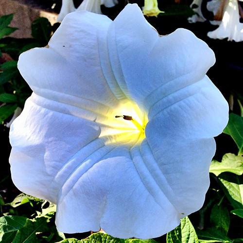 Brugmansia arborea (angel