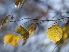 De jolis souvenirs **--- -* (Titole) Tags: leaves yellow branch bokeh yourock noisetier nervures friendlychallenges coudrier thechallengefactory herowinner titole nicolefaton