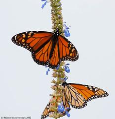 Three monarchs (v4vodka (back in Poland)) Tags: butterfly insect lepidoptera monarch milkweed wanderer monarchbutterfly danausplexippus motyl milkweedbutterfly commontiger blackveinedbrown