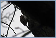 Treecreeper (postman.pete) Tags: park blue autumn red wild england sky dog moon lake black flower bird heron robin leaves sign sunrise canon dawn duck squirrel tit jay berries little head song dove gull jet starling dunnock fungi trail kingfisher mallard lichen crow magpie carrion essex egret thrush caeruleus moorhen treecreeper mistle jackdaw cyanistes