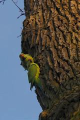 bird parakeet vogel roseringed halsbandsittich alexandersittich schlossgartenschwetzingen castleschwetzingen
