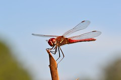 Sympetrum fonscolombii (Selys, 1840). Macho (Jess Tizn Taracido) Tags: odonata libellulidae anisoptera sympetrumfonscolombii cavilabiata