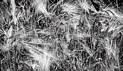 Happy new year 2016 (Ciceruacchio) Tags: blackandwhite italy nature monochrome rural mono nikon italia natural noiretblanc wheat natura charm wish friday italie capodanno biancoenero happynewyear auguri charme goodluck nouvelan felizanonovo vœux elvispresley bonneannee blé glück 2016 buenasuerte gelukkignieuwjaar portafortuna boasorte feliceannonuovo eingutesneuesjahr portebonheur newyear'sday granoduro felizañonuovo 幸せな新年 nikond750