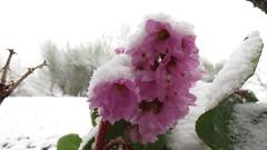 IMG_3842 (MY SECRET WINDOW) Tags: neve bergenia fiore inverno freddo pianta ghiaccio fiocchi saxifragaceae fioritura