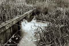 Reeds (Lars Heuvelmans) Tags: monochrome sepia reeds stream dam
