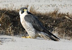 Ad. Peregrine Falcon - Nauset - 1/3/14 (petertrull) Tags: elements