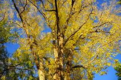 Siberian Elm (Narodnie Mstiteli) Tags: siberianelm deciduous hardwood reno nevada idlewildpark arboretum