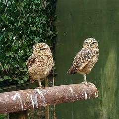 IMG_20161006_183904 (Clara20011) Tags: burrowingowl owl llandudno bodafonfarm