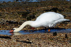 Drinking Time in Hythe (Hythe Eye) Tags: hythe hampshire southamptonwater muteswan n7l