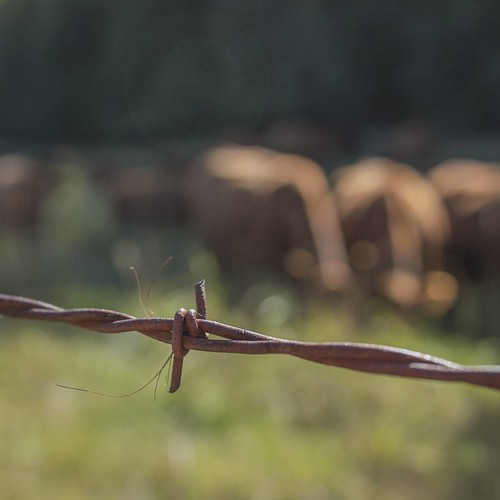 Cow Hair on the Barbed Wire  #wpguestranch #guestranch #duderanch #redangus #barbedwire #cattle #ranchraised #idahopreferred