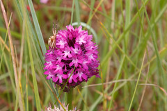 Orchis pyramidal sur l'le de Batz (aurelien.ebel) Tags: bretagne finistre fleur flore france liliaceae liliidae liliopsida orchidale orchide le ledebatz