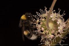 Bumble bee (kasia-aus) Tags: 2016 aland finland bee black bug bumblebee europe feeding flower insect macro nature travel trip white wildlife yellow
