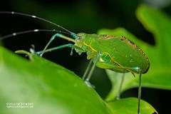 Katydid (Tettigoniidae) - DSC_1172 (nickybay) Tags: singapore macro nangka trail riflerangeroad katydid tettigoniidae