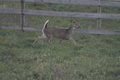 _MG_1872 (thinktank8326) Tags: deer whitetaileddeer fawn doe babyanimal babydeer