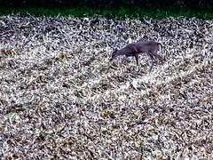 deer in a cornfield (Lana Pahl / Country Star Images) Tags: ilovenature fstopnaturelandscapeetc flickrnature natureforallfloraandfauna naturephotography nature