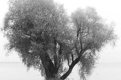 Weide auf der Fraueninsel (g e g e n l i c h t) Tags: weide salix baum nebel chiemsee chiemgau oberbayern deutschland see gewässer natur landschaft wetter elmaritr2828mm lumixgx7 schwarzweis