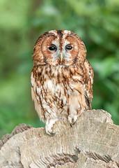 Mr Forbes (Ruth S Hart) Tags: tawnyowl hylandspark edenfalconry goingdigital teaching workshop essex uk wwwgoingdigitalcouk d700