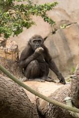 Joanne (ToddLahman) Tags: joanne westernlowlandgorilla gorilla babygorilla babyjoanne escondido canon7dmkii canon canon100400 sandiegozoosafaripark safaripark