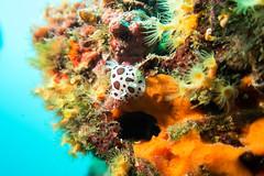 Doris dalmatien (Jacques GUILLE) Tags: buceo discodorisatromaculata diving dorisdalmatien espagne ilesmedes plonge subaquatique tasconpetit underwater marin mer photosousmarine plonge