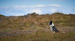 28august_Hringur&Venus_lastPlay_125 (Stefn H. Kristinsson) Tags: hringur venus august 2016 play leikur last reykjanes patterson iceland sland