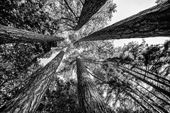 The secret place (OR_U) Tags: 2016 oru uk langleywood langleywoodnationalnaturere pinetrees trees frombelow up bw blackandwhite blackwhite schwarzweiss monochrome texture canopee elephantman langleywoodnationalnaturereserve