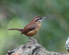 Carolina Wren (Thryothorus ludovicianus) (Mary Keim) Tags: taxonomy:binomial=thryothorusludovicianus centralflorida marykeim cwh