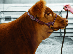 900691_b_2 (Sharp Show Supply) Tags: show medium livestock halter dairy chevron brown beef 900691