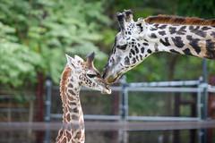 Giraffe Mom with Baby (Eric Kilby) Tags: franklin park zoo giraffe mom baby