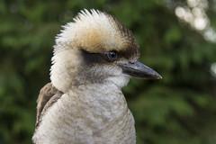 Laughing Kookaburra (Margaret S.S) Tags: laughing kookaburra bird captive
