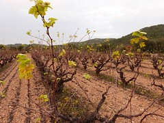 Otoo suave (calafellvalo) Tags: otoo autumn fall automne herbst ocher reddle ocre ocker viedos vineyard weinberg vignoble rouge red calafellvalo madroo tardor