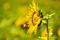 Hummingbird hawk-moth   (Jennifer ) Tags:   hummingbirdhawkmoth  sunflower nikonafs28300mmf3556gedvr nikond4s