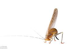 Rainbow katydid (Vestria sp.) (ggallice) Tags: rainbowkaydid katydid orthoptera tettigoniidae vestria insect amazonrainforest rainforest entomology losamigosbiologicalstation madrededios peru amazon southamerica