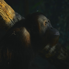 Looking Up (swong95765) Tags: primate animal cousin thinking light up life wonder wondering pondering ponder mammal