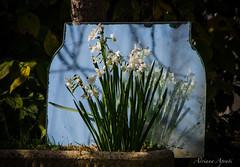 18 novembre 2016, in giardino ... uno specchio per Narciso (adrianaaprati) Tags: fiori flowers narciso giunchiglia pianta allaperto specchio mirror narcissus daffodil plant outdoor garden giardino