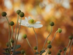 Welcome November (NaturewithMar) Tags: anemone macro fallcolors bokeh autumn bright light flower plant bottom nikon coolpix ngc