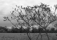 IMG_0579 - Version 2 (Sally Knox Sakshaug) Tags: fall autumn october outdoors nature leaf leaves black white blackwhite bw contrast sumac bush tree silhouette trees background sky branches ominous dark flower flowers field corn