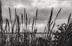 Grass - Film Leica (Photo Alan) Tags: leicam4 leica film grass blackwhite blackandwhite leica50mmf20 filmcamera filmscan filmleica