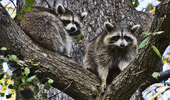 Raccoons Prospect Park (Alexander H.M. Cascone) Tags: nyc newyorkcity newyork ny brooklyn prospectpark park city wildlife animal tree nature duo pair raccoon mapache