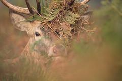 Red Deer (Daniel Trim) Tags: red deer rut rutting bushy park london royal parks uk england