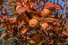 The fascinating colors of Diospyros kaki. (Ciminus) Tags: garden piante naturesubjects wildlife kaki nature ciminus afsnikkor80400vr diospyroskaki nikond810 ciminodelbufalo fruits plants nikon