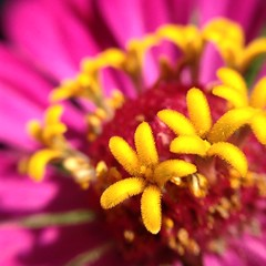 Pink & Yellow (Aerykah) Tags: oklahoma 2016 flower zinnia pink yellow macro closeup nature plant