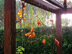 Autumn in the garden (alex.gb) Tags: pergola pompeiana rain sun sunlight autumn fall garden autumninthegarden