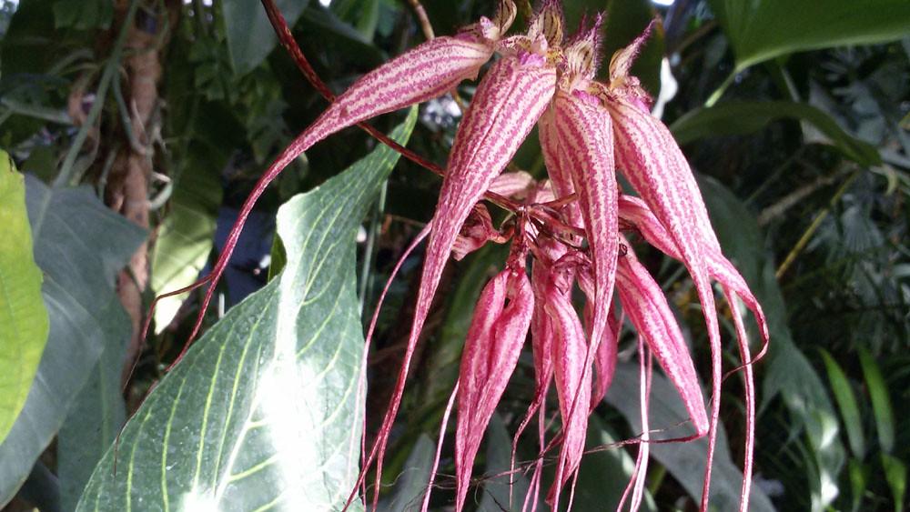 Bulbophyllum Ann Buckleberry- MNHN  (3)