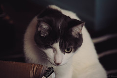 Freddie. (Nicole Favero) Tags: verde cats love amazing mine cute cool awesome forever followme photo photographs nikon nikond5000 camera lightroom nicolefavero animals nature crazycatcafè cafè milano milan gatti gatto kitty eyes lovely cuteness lens playing fun eyeless red black effect